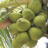 Fórum da Sefaz discute recuperação do segmento do coco em Alagoas
