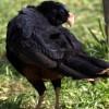 Mutum de Alagoas será reintroduzido na natureza em menos um ano