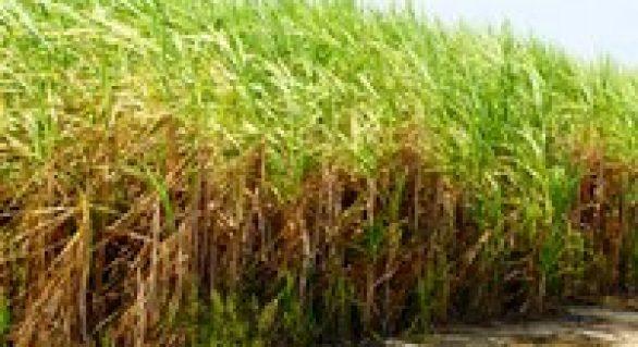 Parceria visa gerar conhecimento para ampliar a produção de cana-de-açúcar