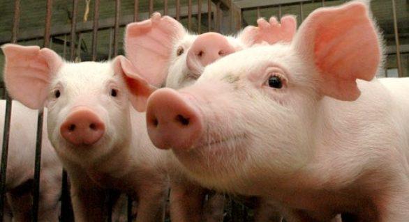 Festas de fim de ano fazem subir preços do suíno vivo e da carne