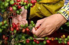 Banco Central autoriza renegociação de dívidas de cafeicultores