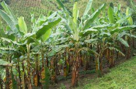 Cultivo de banana ganha força em União dos Palmares