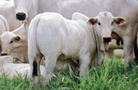 Mercado do boi gordo inicia semana com pressão de baixa em seis praças brasileiras