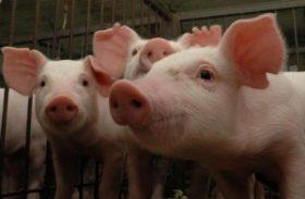 Queda do preço do suíno vivo e alta do milho reduzem poder de compra de pecuaristas