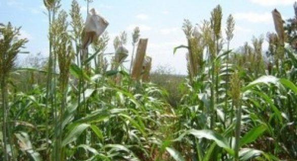 Variedade de sorgo desenvolvido em Alagoas ganha capítulo em publicação do BNB