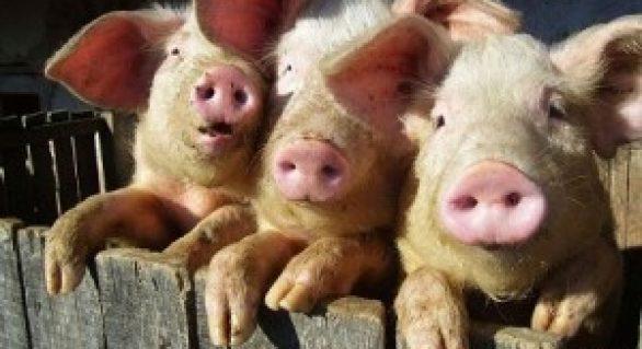 Possível entrada da diarreia suína no Brasil assusta setor