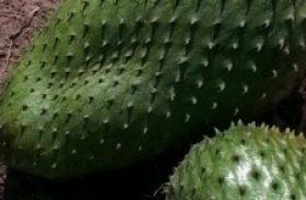 Graviola gigante chama a atenção no município de Limoeiro de Anadia