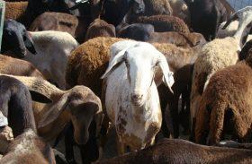 Seminário vai discutir cadeia produtiva da ovinocaprinocultura