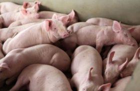 Valorização da carne suína exportada contribui para altas dos preços no BR
