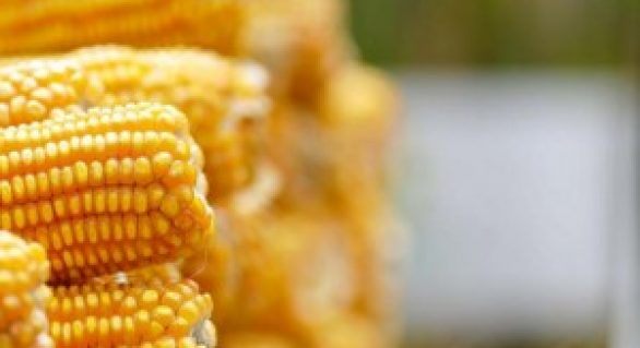 Cresce a produtividade do milho segunda safra no Brasil, mas preços não acompanham