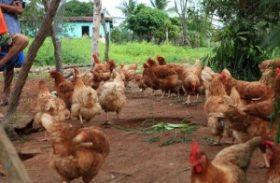 Avicultura familiar gera renda e atende moradores do Agreste e Sertão