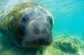 Campanha SOS Peixe-Boi preserva vida do animal na costa alagoana