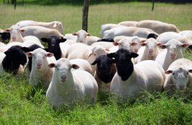 Expoagro terá 1º workshop para ovinos da raça dorper