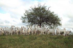 Criador aposta na pecuária de ciclo curto e vira case de sucesso