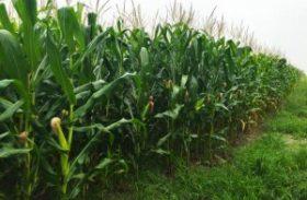 Dias de campo apresentam potencial de grãos em Alagoas
