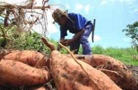 Governo discute projeto de isenção fiscal para derivados da mandioca
