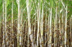 PMGCA libera duas novas variedades RB de cana-de-açúcar