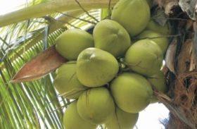 Workshop discute incentivos fiscais à cultura do coco em Alagoas