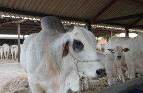 Parque da Pecuária recebe cerca de 900 animais para a Expoalagoas Genética