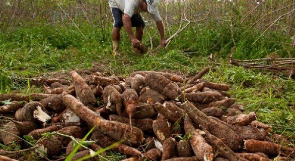 Desenvolve discute melhorias da cadeia da mandioca em Palmeira dos Índios