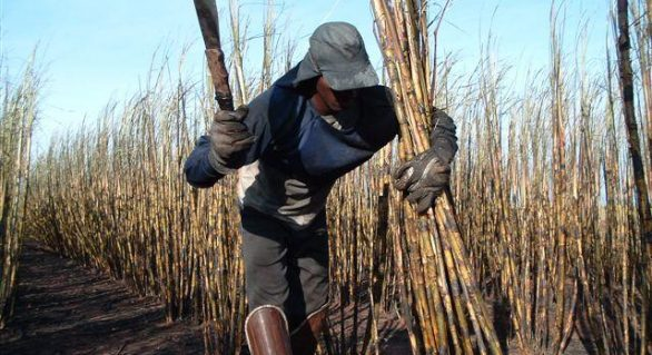 Safra 16/17 de Alagoas deve empregar 50 mil trabalhadores rurais