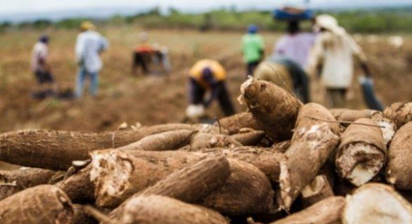 Produtores de mandioca conseguem lucro de 35% na venda da tonelada da raiz