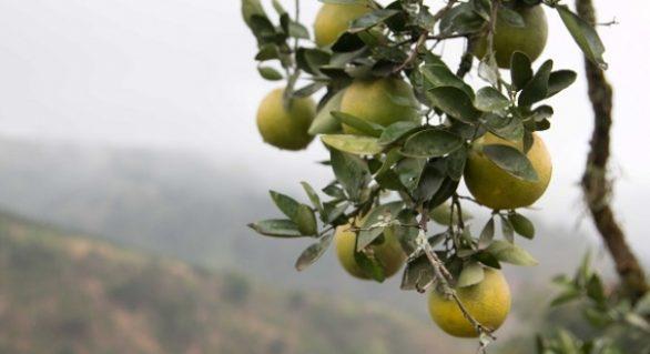 Produção de frutas em Murici diversifica o agronegócio alagoano