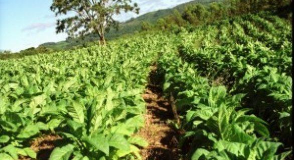 Produtores de fumo terão acesso irrestrito ao crédito rural