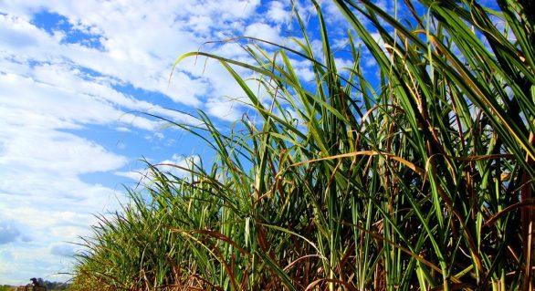 Técnicos mexicanos realizam capacitação sobre cultivo da cana em Alagoas