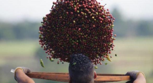 Produção de café cresce 18,8% em 2016 e atinge 51,37 milhões de sacas
