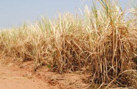 Com a seca, fornecedores de cana perdem mais 50% da socaria em Alagoas