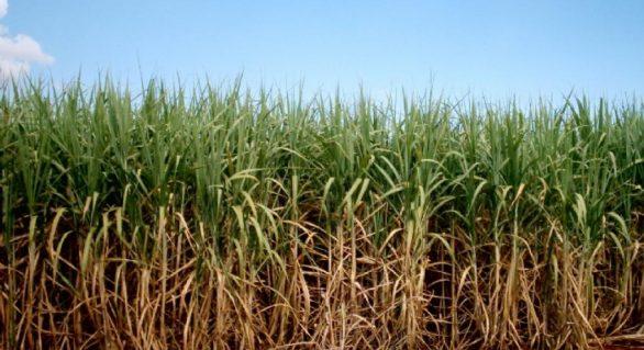 Safra 16/17 da Usina Pindorama rende 692 mil toneladas de cana
