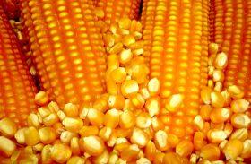 Governo libera milho mais barato para o Nordeste