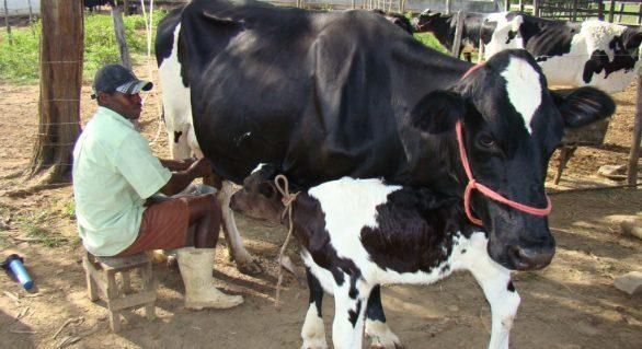Produtores da CPLA alegam 50% de crescimento na produção leiteira