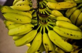 Banana tem queda de preço e recupera mercado no primeiro semestre