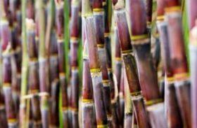 Governo anuncia socorro aos pequenos fornecedores de cana