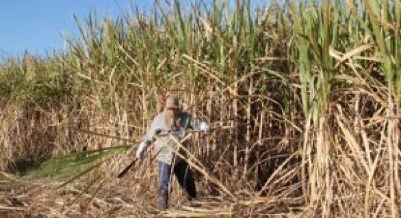Governo beneficiará produtores de cana-de-açúcar com fertilizantes