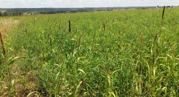 Dia de Campo da soja reúne produtores de diversas regiões em Campo Alegre