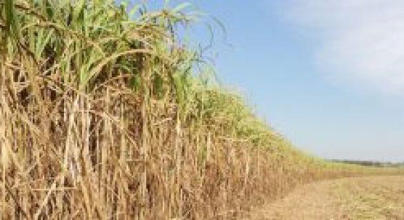 Safra de cana de Alagoas será de apenas 13 milhões de toneladas
