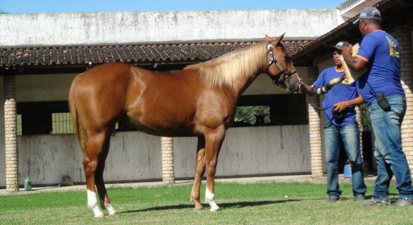 Animais do Maceió Horse's Show já se encontram no Parque da Pecuária