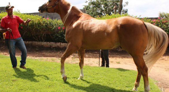 Alagoas Quarter Horse abre maratona de Leilões da 67ª Expoagro/AL