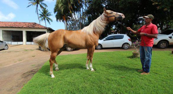 Animais do 5º Alagoas Quarter Horse chegam ao Parque da Pecuária na quarta (18)