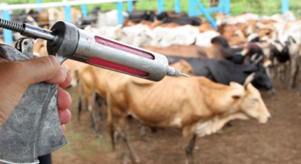 Vacinação contra aftosa será obrigatória para animais até dois anos