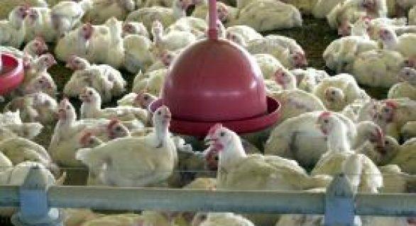 Brasil vence disputa na OMC e deve exportar frango para a Indonésia em 2018