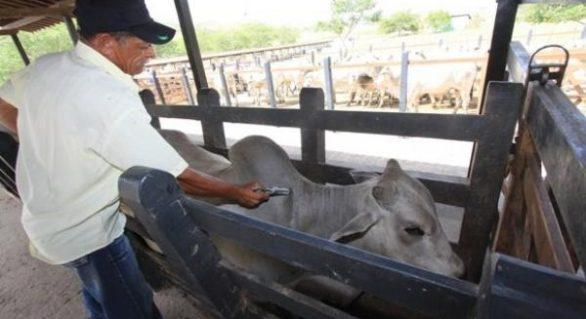 Vacinação contra febre aftosa se encerra nesta quinta-feira (30) em Alagoas