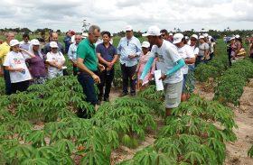 Dia de Campo da mandioca mobiliza agricultores em Junqueiro