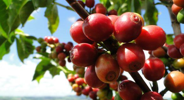 Brasil precisa elevar em 40% safra de café até 2030 para garantir dominância, diz OIC