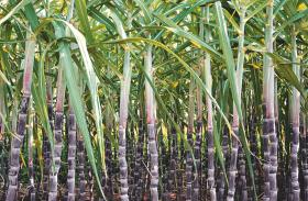 Safra de cana-de-açúcar deve chegar a 635 milhões de toneladas