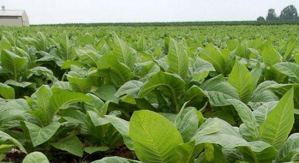 Preço do tabaco pago ao produtor ainda é indefinido para safra 2017/2018