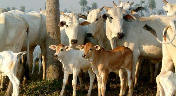 Brasil vai iniciar exportação de embriões bovinos in vitro para Colômbia